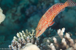 BD-120424-Marsa-Alam-6315-Cephalopholis-miniata-(Forsskål.-1775)-[Coral-hind.-Juvelabborre].jpg